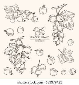 Collection of branch of black currant: black currant berries and leaves. Vector hand drawn illustration