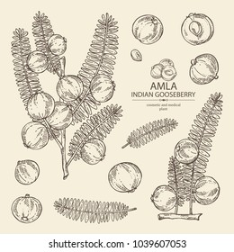 Collection of branch of indian gooseberry, amla: berries and leaves of amla. Cosmetics and medical plant. Vector hand drawn illustration.