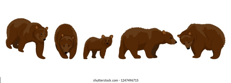 Collection of brown bears in various poses. Adult animals and cub. Realistic Vector Animals
