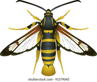 Collection of butterflies: Synanthedon vespiformis Yellow-legged Clearwing