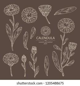 Collection of calendula: calendula plant, leaves and calendula bud and flowers. Cosmetics and medical plant. ector hand drawn illustration.