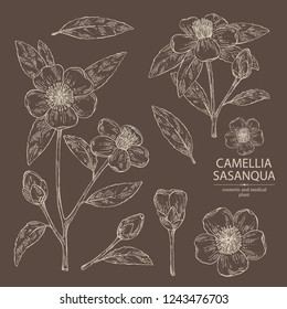 Collection of camellia sasanqua: leaves, camellia sasanqua flowers and bud. Cosmetic, perfumery and medical plant. Vector hand drawn illustration