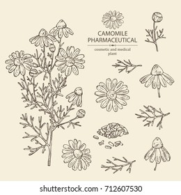Collection of camomile:  leaves, seeds and flowers. Cosmetic and medical plant. Vector hand drawn illustration.