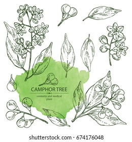 Collection of camphor: branch of Camphor Tree, leaves, berries and camphor flowers. Perfumery, cosmetics and medical plant. Vector hand drawn illustration