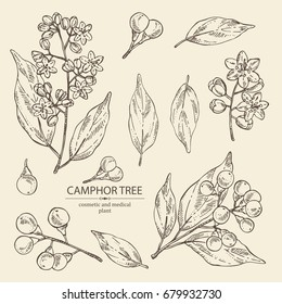 Collection of camphor: branch of camphor tree, leaves, berries and camphor flowers. Perfumery, cosmetics and medical plant. Vector hand drawn illustration,