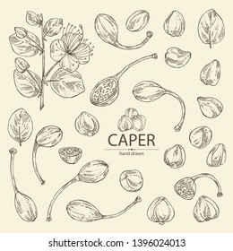 Collection of caper: caper bud, pod and flower. Vector hand drawn illustration.