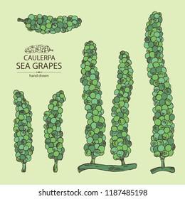 Collection of caulerpa: sea grapes seaweed. Green algae. Edible seaweed. Vector hand drawn illustration.