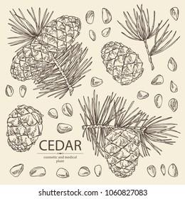 Collection of cedar: branch of cedar with cedar cone. Cosmetics and medical plant. Vector hand drawn illustration.