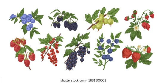Collection or colorful detailed realistic ripe berries vector illustration. Set of different hand drawn edible berry branches with leaves, stem and flowers isolated on white background
