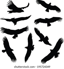 Collection of condor silhouettes, in flight.