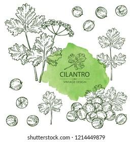 Collection of coriander and cilantro. Vector hand drawn illustration.