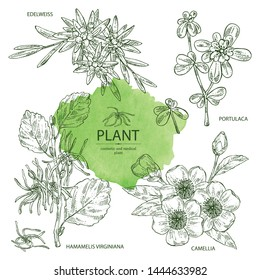 Collection of cosmetic and medical plant: hazel: hamamelis virginiana flowers, camellia sasanqua, portulaca and edelweiss flowers. Vector hand drawn illustration