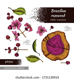 Collection of cut of a Rosewood and twigs with flowers and buds . Detailed hand-drawn sketches, vector botanical illustration.  For menu, label, packaging design.