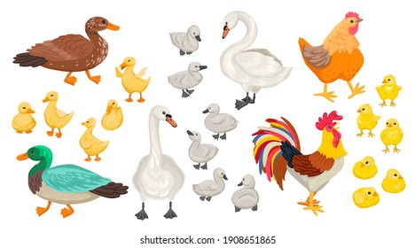 Collection of different domestic birds. Geese, chickens, swans. Cubs and adults. Rooster, ducklings, and others. Vector flat cartoon style illustration.
