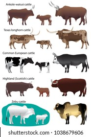 Collection of different species of cattle: common european, texas longhorn, highland (scottish), watusi (ankole-watusi), zebu
