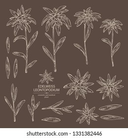 Collection of edelweiss: edelweiss flowers and leaves. Leontopodium. Cosmetic and medical plant. Vector hand drawn illustration