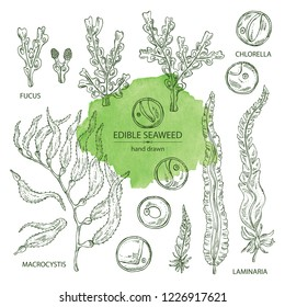 Collection of edible seaweed: laminaria seaweed, macrocystis, chlorella seaweed and fucus. Brown algae. Vector hand drawn illustration.