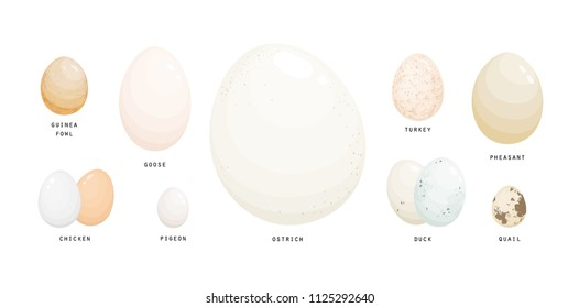 Collection of eggs of various farm birds covered with eggshell isolated on white background - ostrich, chicken, goose, pigeon, guineafowl, duck, turkey, pheasant, quail. Realistic vector illustration.