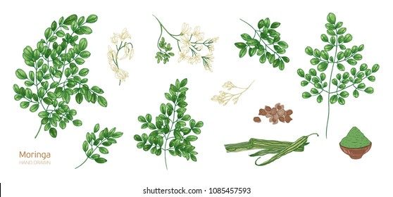Collection of elegant detailed botanical drawings of Moringa oleifera leaves, flowers, seeds, fruits. Bundle of parts of tropical cultivated plant isolated on white background. Vector illustration