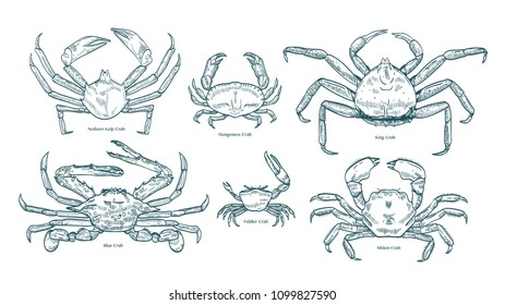 Collection of elegant drawings of various types of crabs. Bundle of beautiful marine animals or crustaceans hand drawn on white background. Monochrome vector illustration in vintage engraving style