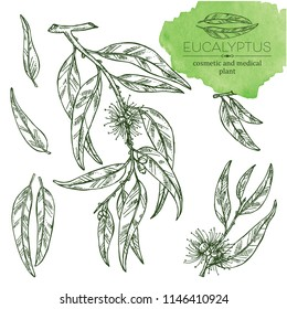 Collection of eucalyptus: leaves and flowers. Cosmetics and medical plant. Vector hand drawn illustration.