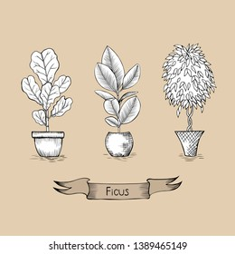 Collection of ficus flowers of different species in pots. Ficus lyrata, ficus elastica, ficus benjamin. Ribbon with text. Botanical vector illustration. Hand drawing