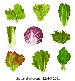 Collection of fresh salad leaves, radicchio, lettuce, romaine, kale, collard, sorrel, spinach, mizuna, healthy organic vegetarian food vector Illustration