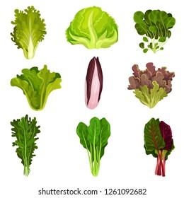 Collection of fresh salad leaves, radicchio, lettuce, spinach, arugula, rucola, mache, watercress, iceberg, collard, healthy organic vegetarian food vector Illustration