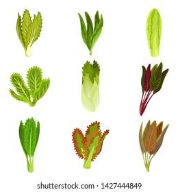 Collection of fresh salad leaves, radicchio, lettuce, romaine, kale, collard, sorrel, spinach, mizuna, healthy organic vegetarian food vector Illustration.