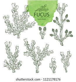 Collection of fucus: fucus seaweed, sea grapes. Brown algae. Edible seaweed. Vector hand drawn illustration.