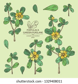 Collection of garden purslane: purslane flowering branch and leaves. Portulaca. Cosmetic and medical plant. Vector hand drawn illustration