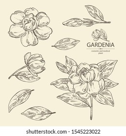 Collection of gardenia: gardenia flowers, bud and leaves. Cosmetic, perfumery and medical plant. Vector hand drawn illustration