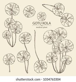 Collection of gotu kola: branch of gotu kola. Centella asian. Cosmetic and medical plant. Vector hand drawn illustration.