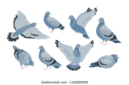 Collection of grey feral pigeon in various poses - sitting, flying, walking, eating. City or synanthrope bird isolated on white background. Colorful vector illustration in flat cartoon style.