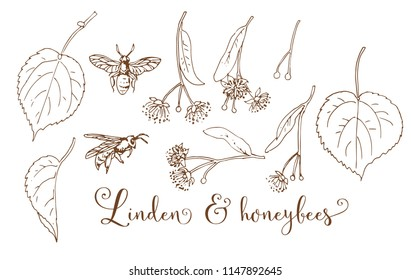 Collection of hand drawing linden & honeybees
