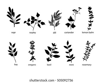 Collection of hand drawn black silhouette herbs and spices, plants. Silhouette Herbs vector and spices vector illustration. Herbs garden  isolated on white.