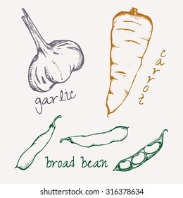 Collection of hand-drawn vegetables,broad bean, carrot,garlic