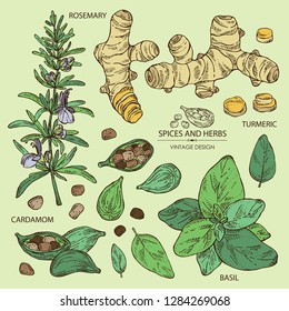 Collection of herbs and spices: rosemary, turmeric root, basil and cardamom. Vector hand drawn illustration.