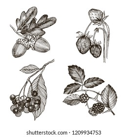 Collection of highly detailed hand drawn acorn, strawberries, oak leaves and blackberry isolated on white background. Vector design