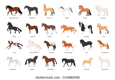 Collection of horses of various breeds isolated on white background. Bundle of gorgeous domestic equine animals of different types and colors. Colorful vector illustration in flat cartoon style