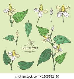 Collection of houttuynia: houttuynia flowers and leaves. Houttuynia cordata, Cosmetic and medical plant. Vector hand drawn illustration