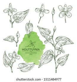 Collection of houttuynia: houttuynia flowers and leaves. Houttuynia cordata, Cosmetic and medical plant. Vector hand drawn