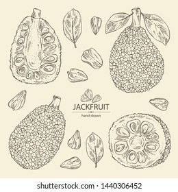 Collection of jackfruit: fruit and jackfruit slice. Vector hand drawn illustration