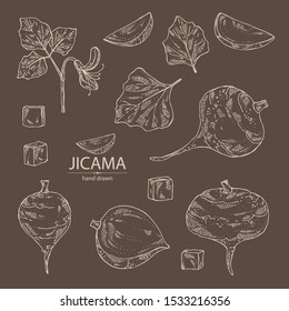 Collection of jicama: tuber of jicama, leaves, flower and slice. Pachyrhizus erosus. Vector hand drawn illustration.