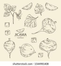 Collection of jicama: tuber of jicama, leaves, flower and slice. Pachyrhizus erosus. Vector hand drawn illustration.