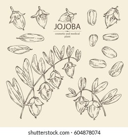 Collection of jojoba: nuts, branch and fruit. Cosmetics and medical plant. hand drawn.