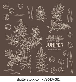 Collection of juniper: berries juniper and a branch. Cosmetics and medical plant. hand drawn.