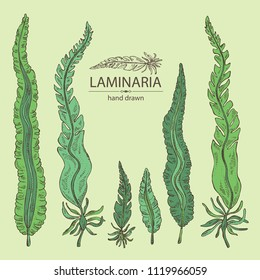 Collection of laminaria: laminaria seaweed, sea kale. Brown algae. Edible seaweed. Vector hand drawn illustration.