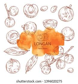 Collection of longan: fruit and longan slice. Vector hand drawn illustration.