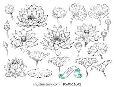 A collection of lotus sketches. A variety of vector drawings of lotuses, buds and leaves in vintage style.Hand drawn floral illustration.